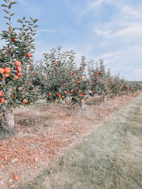 a pyo apple orchard